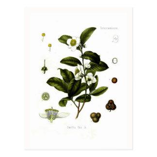 Camellia sinensis (tea) postcards