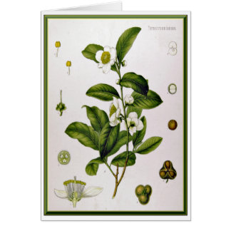 Camellia Sinensis (Tea Tree) Card