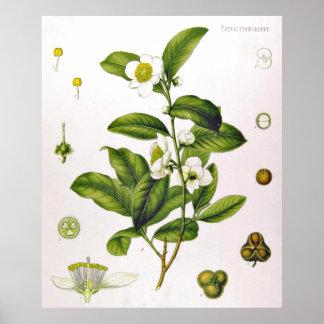 Camellia Sinensis Thea Sinensis Tea Tree Poster