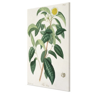 Camellia Thea from 'Phytographie Medicale' by Jose Canvas Print