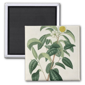 Camellia Thea from 'Phytographie Medicale' by Jose Magnet