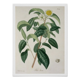 Camellia Thea from 'Phytographie Medicale' by Jose Poster