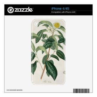 Camellia Thea from 'Phytographie Medicale' by Jose Skins For iPhone 4