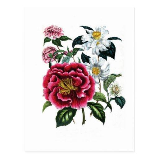 Camellias by Jane Loudon Postcard