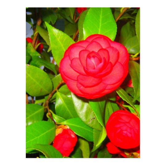Camellias in Bloom Postcard