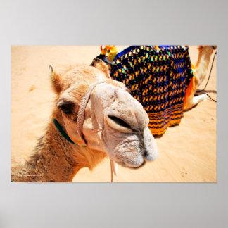 Camello árabe del dromedario póster