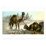 Camello árabe postales