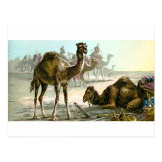 Camello árabe tarjetas postales