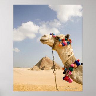 Camello con las pirámides Giza, Egipto Póster