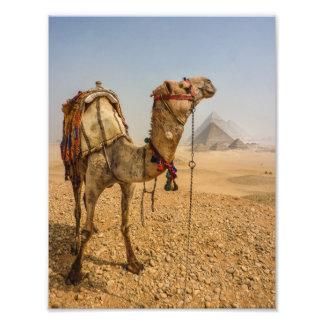 Camello contemplativo fotografia