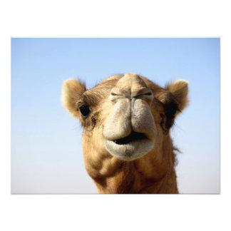 Camello del desierto fotografías