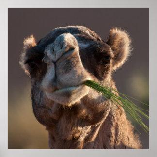 Camello del día de chepa que festeja en hierba impresiones