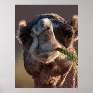 Camello del día de chepa que festeja en hierba poster