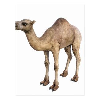 Camello del dromedario postal
