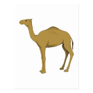 Camello del dromedario postales
