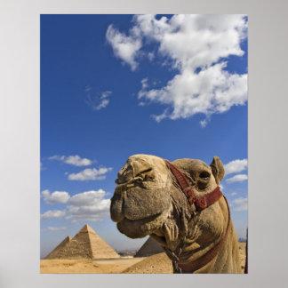 Camello delante de las pirámides de Giza, Egipto, Póster
