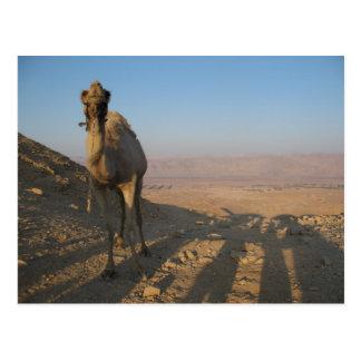 Camello en desierto postales
