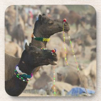 Camello justo, Pushkar, Rajasthán, la India de Pus Posavasos