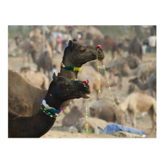 Camello justo, Pushkar, Rajasthán, la India de Tarjeta Postal