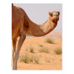 Camello para la postal de los árabes
