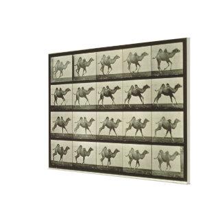 Camello placa de la locomoción animal 1887 b impresiones en lienzo estiradas