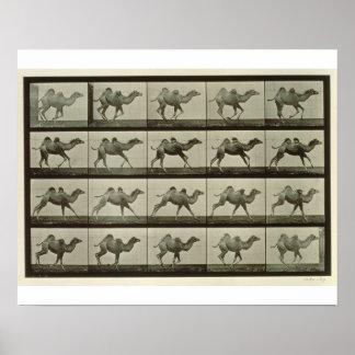 Camello placa de la locomoción animal 1887 b poster
