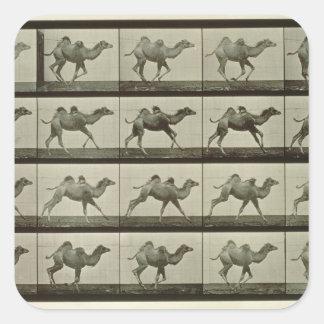 Camello placa de la locomoción animal 1887 b calcomania cuadrada personalizada