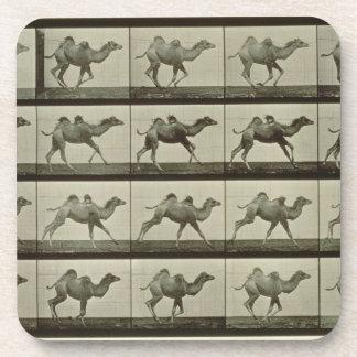 Camello placa de la locomoción animal 1887 b posavasos de bebidas