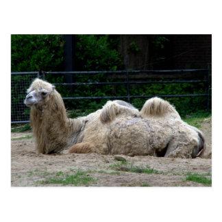 Camello Postal