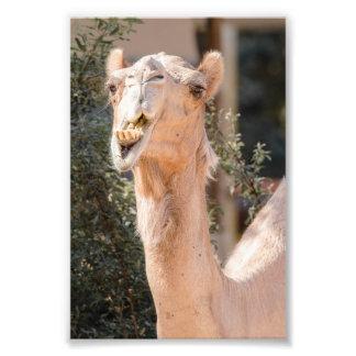 Camello que mira fijamente mientras que mastica fotografías