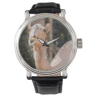Camello que mira fijamente mientras que mastica relojes de mano