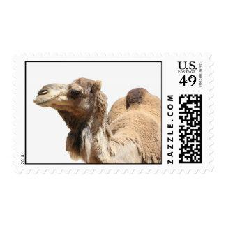 Camello Franqueo