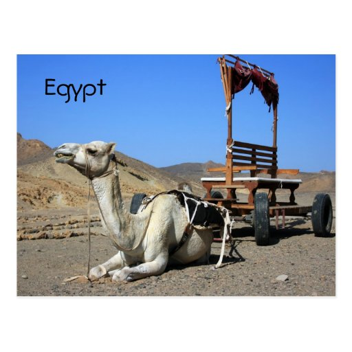 Camello y carro - postal de Egipto