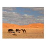 Camellos en desierto del Sáhara Postales