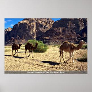 Camellos en el desierto del ron del lecho de un rí posters
