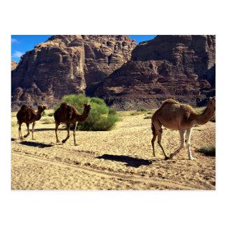 Camellos en el desierto del ron del lecho de un rí postales