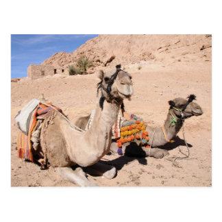 Camellos en el desierto en St. Catherine Postales