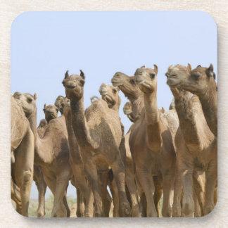 Camellos en el desierto, Pushkar, Rajasthán, la In Posavasos