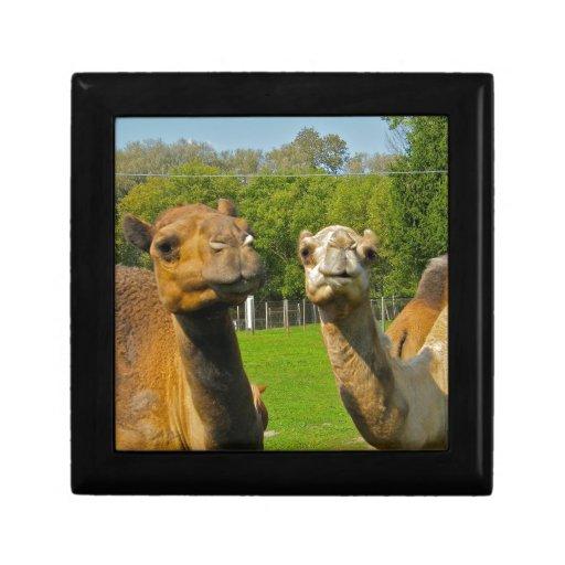 Camellos en el parque zoológico cajas de recuerdo