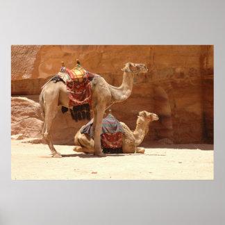 Camellos en el Petra Póster