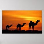 Camellos en puesta del sol posters