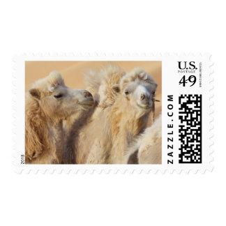 Camellos en un convoy del desierto sello postal