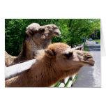 Camellos Felicitacion