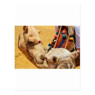 Camellos lindos postal
