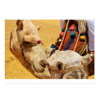 Camellos lindos tarjeta postal