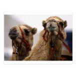 Camellos Postal