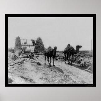 Camellos que dibujan el agua para la irrigación 19 póster