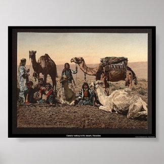Camellos que paran en el desierto, Palestina Posters