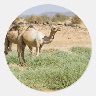 Camellos salvajes pegatina redonda