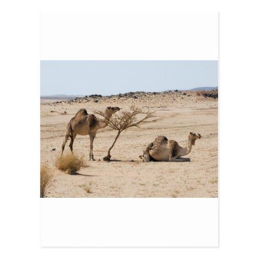 Camellos salvajes postales